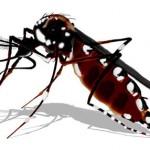 Mosquito da Dengue e Febre Chikungunya Aedes aegypt