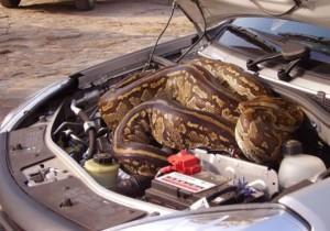 Dedetização veicular - cobra no capo do carro